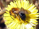 Andrena ? - Andrena dunningi