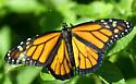 Butterfly - Danaus plexippus