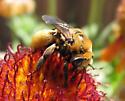 Bee - Svastra obliqua
