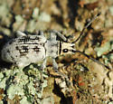 weevil - Myllocerus undecimpustulatus