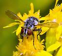tachinid? - Gymnoclytia occidua - female