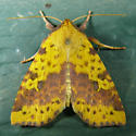 Pink-barred Sallow - Xanthia tatago