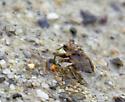 Hopping Water Insect - Gelastocoris oculatus