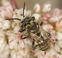 Bee - Epeolus