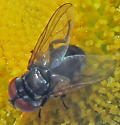 Unidentified Fly - Phasia - male