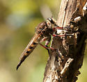 Large robber fly - Promachus hinei - female