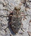 Metallic Wood Borer - Dicerca sp. - Chrysobothris femorata
