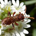 Tiny Red Wasp - Scoliid? - Nomada