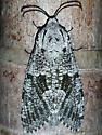 .Carpenterworm Moth - Prionoxystus robiniae