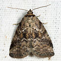 White-lined Graylet - Hyperstrotia villificans