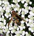Small wasp in yarrow - Polistes dorsalis