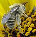Small Bee - Diadasia enavata - male