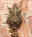 Stink Bug W/Eggs - Brochymena arborea