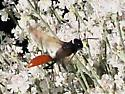 Andrena spaeralceae? - Sphex lucae