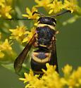 Wasp - Euodynerus hidalgo - male