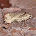 Olethreutes Species