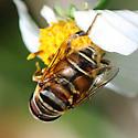 Syrphid Fly - Palpada vinetorum