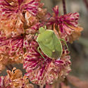 Green bug (Hemiptera)
