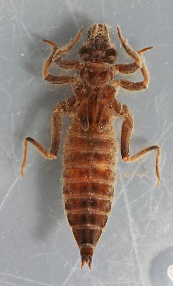 Gomphus kurilis - voucher specimen, in alcohol - Phanogomphus kurilis