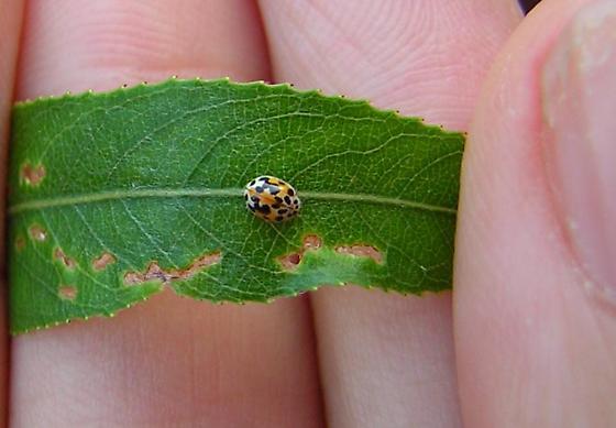 Twenty-spotted lady beetle for Pennsylvania - Psyllobora vigintimaculata