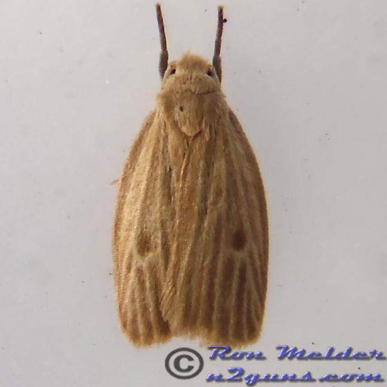 Moth 02 - Crambidia pallida