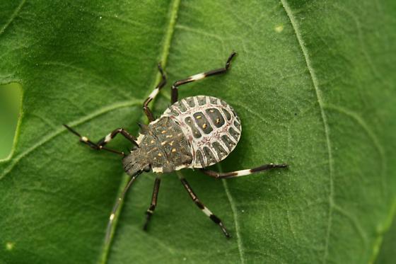 Can anyone take me beyond Hemiptera and Pentatomidae? - Halyomorpha halys