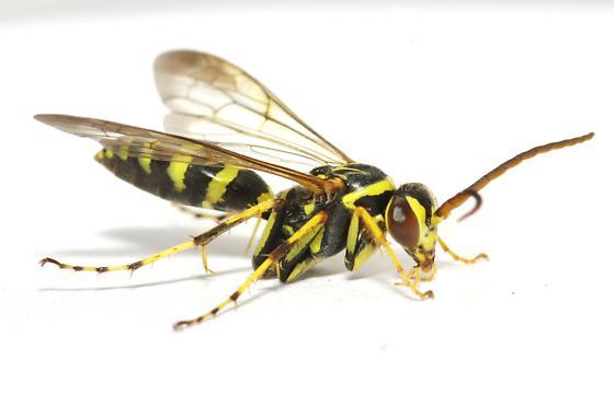 Id request - Poecilopompilus interruptus - male