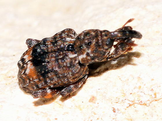 Please help us to identify this minuscule  guy. - Conotrachelus nenuphar
