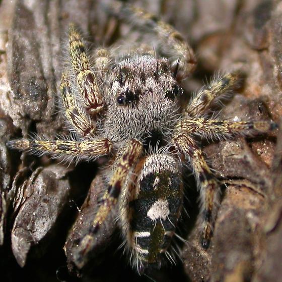Phidippus richmani - male