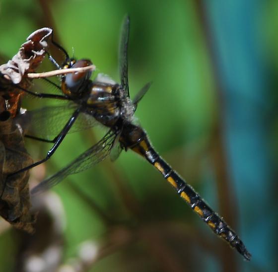 Baskettail Dragonfly - Epitheca spinigera