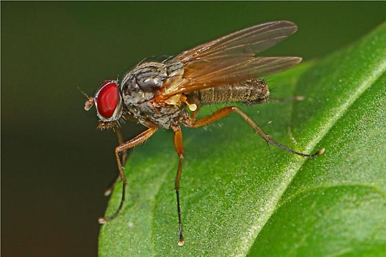 Fly with red eyes and long legs - Eutrichota lipsia - male