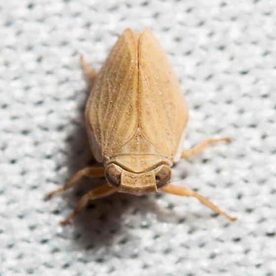 pale planthopper from Monte Bello - Agalmatium bilobum