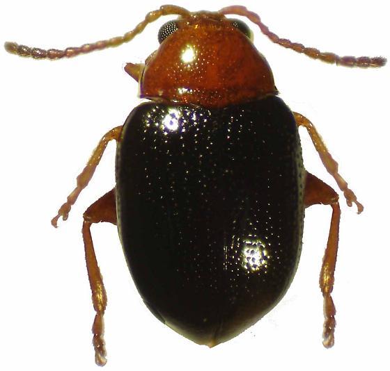 Hornaltica bicolorata (Horn) - Hornaltica bicolorata