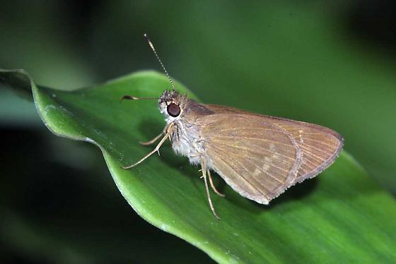 Eufala Skipper - Cymaenes tripunctus