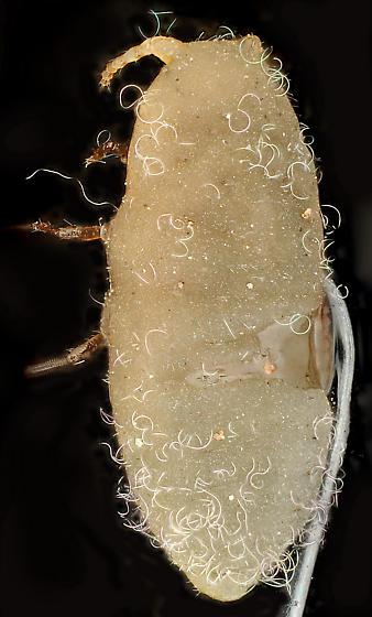 Adult female crawler, Specimen 1, dorsal - Pityococcus rugulosus - female