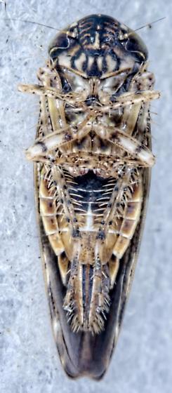 Leafhopper - Allygus mixtus