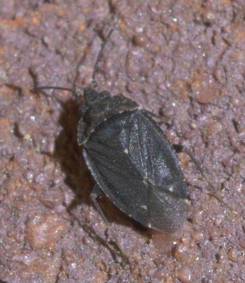 Brown plant bug - Peritropis saldaeformis