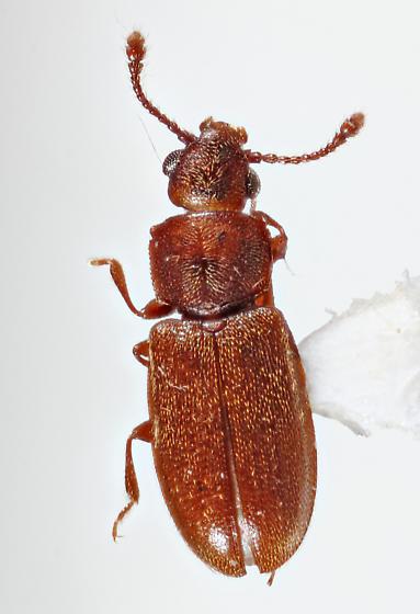Grain Beetle - Ahasverus advena