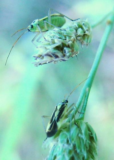 Along trail at Pack Forest - Stenotus binotatus