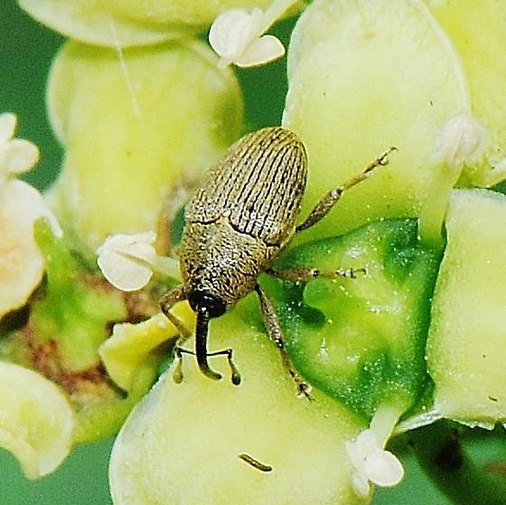 A weevil -  ID, Please. - Geraeus picumnus