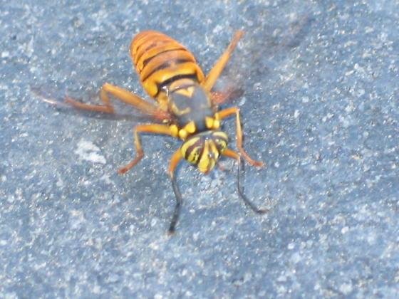 Spilomyia alcimus? - Spilomyia alcimus