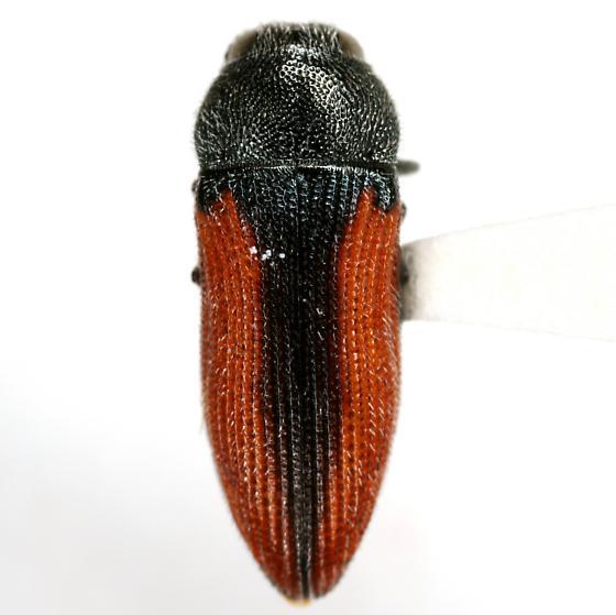 Acmaeodera robigo Knull - Acmaeodera robigo