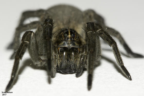 Thin-legged Wolf Spider - Pardosa - Tigrosa helluo