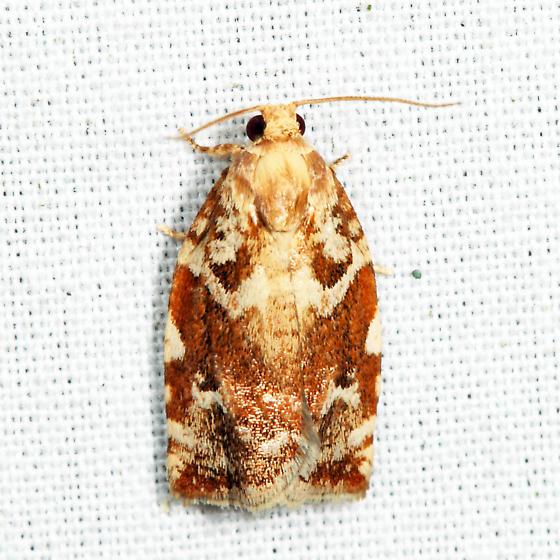 Oak Leafroller Moth - Archips semiferana