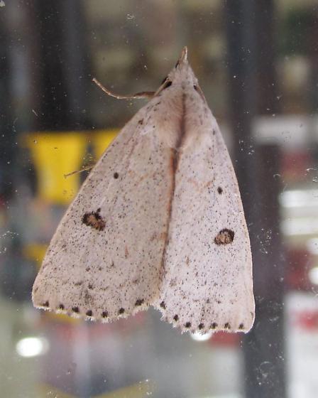 Species Scolecocampa liburna - Dead-wood Borer Moth - Hodges#8514 - Scolecocampa liburna