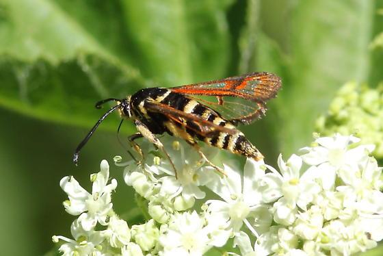 Fireweed Clearwing Moth - Albuna pyramidalis
