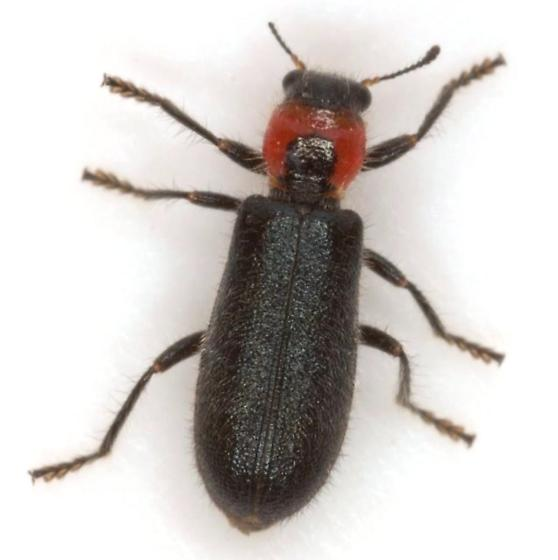 Placopterus thoracicus (Olivier) - Placopterus thoracicus