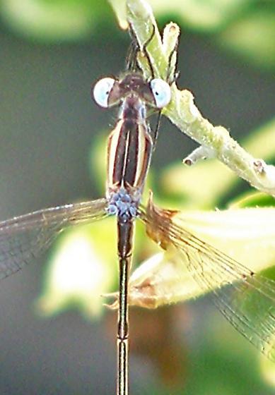 Lestes alacer (Plateau Spreadwing) - Lestes alacer