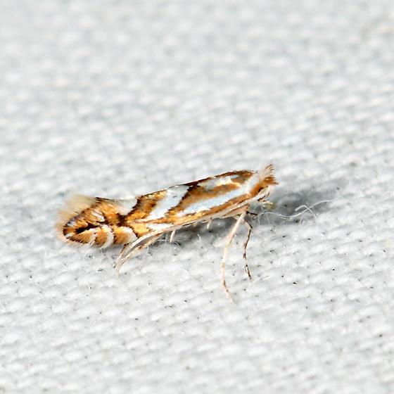 Cherry Blotch Miner  - Phyllonorycter propinquinella - male