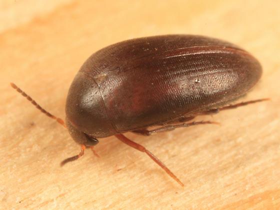 small beetle - Eucinetus morio